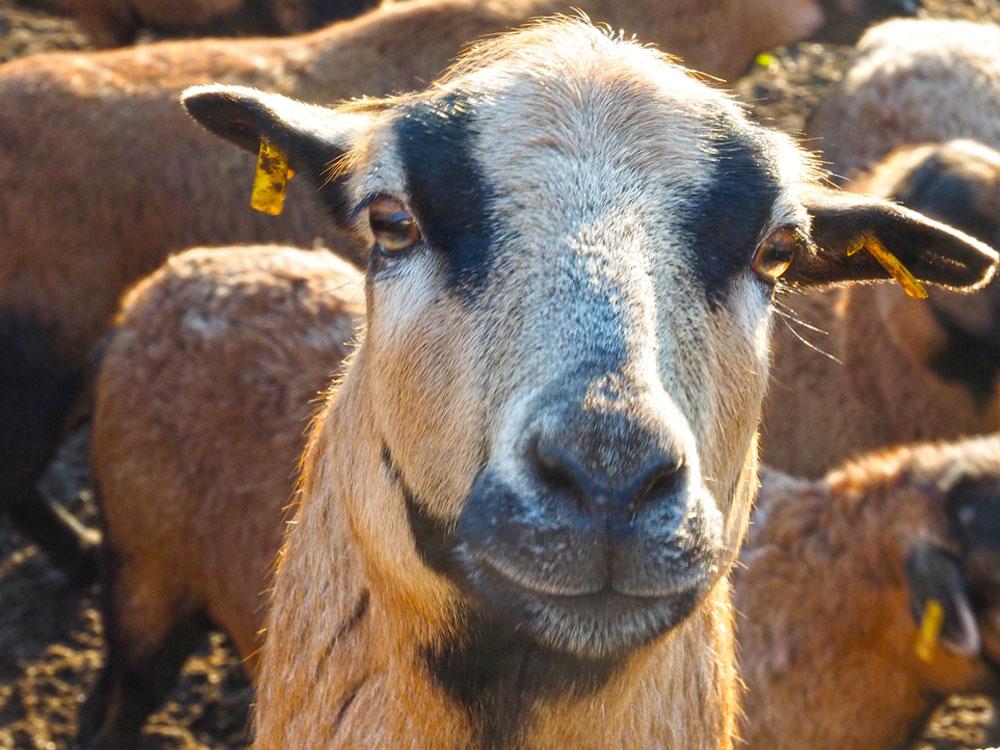 Kamerun-Schaf